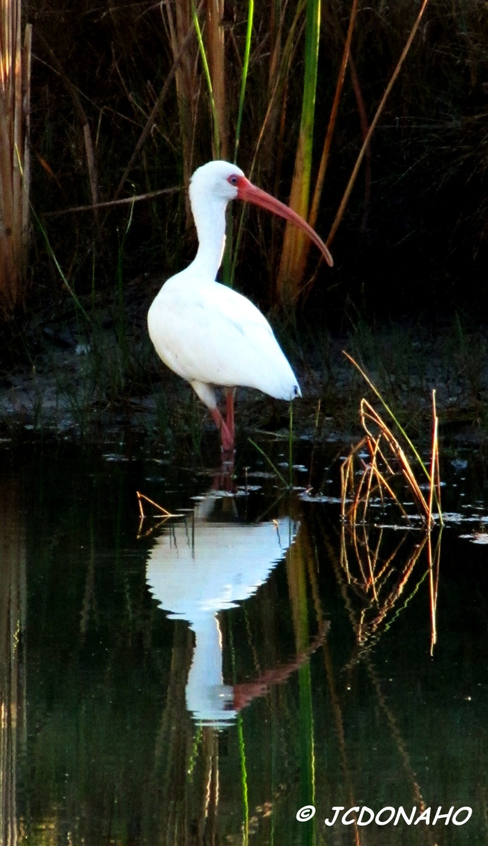 Reflections - White Ibis