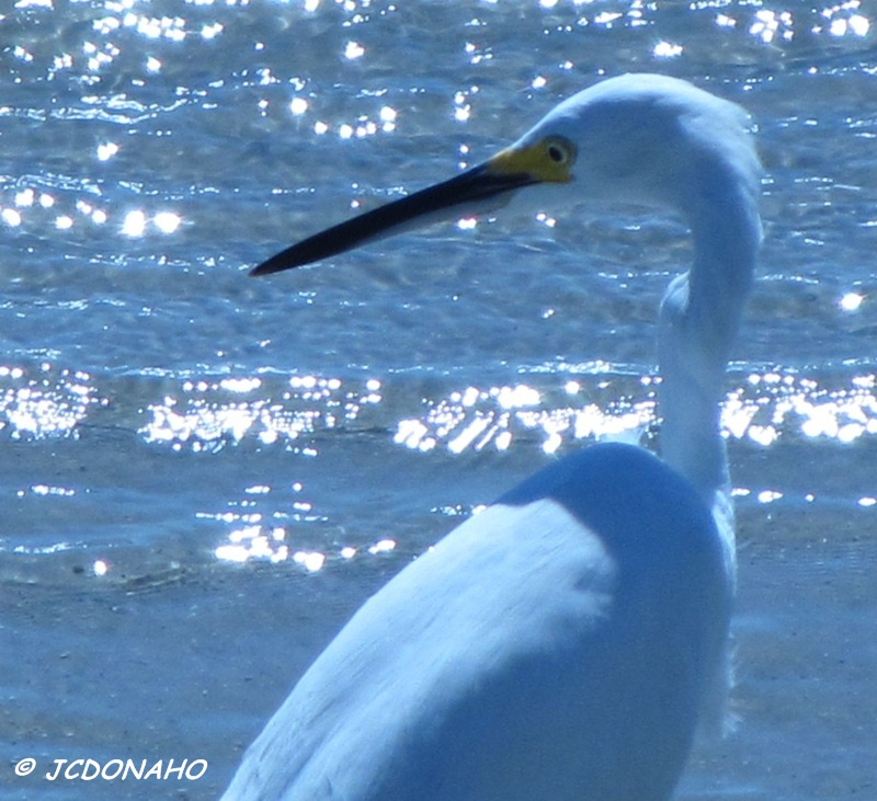 Egret and Surf