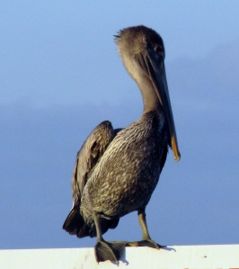 Young Brown Pelican at Galveston
