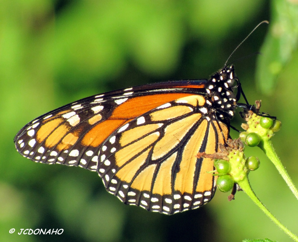 Monarch Migrating South