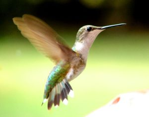 Ruby Throat Hummingbird Female
